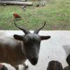 庭の草取りはヤギ・ニワトリの仕事。日置市吹上町の古民家